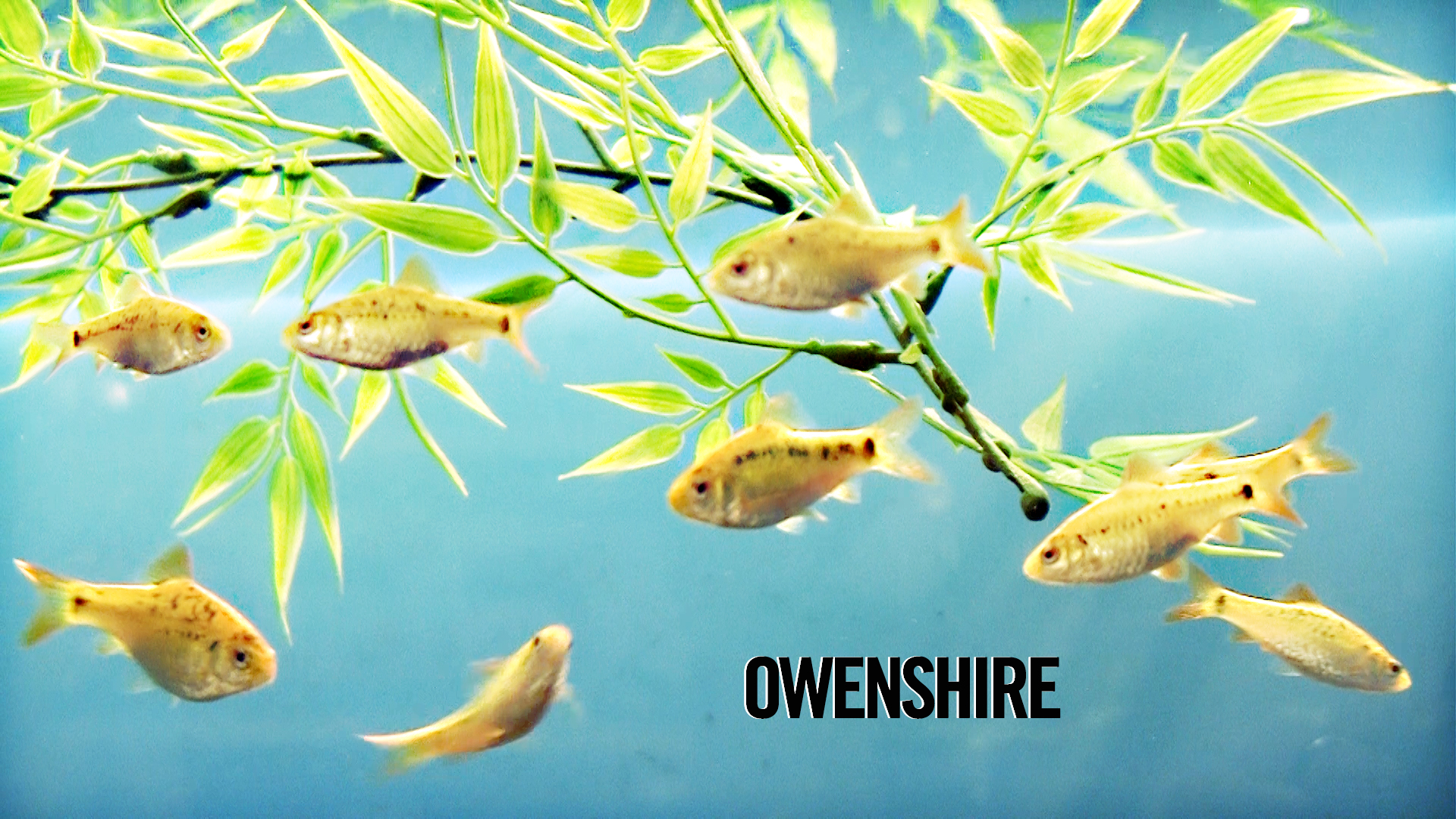 Owenshire SV Fish Wallpaper